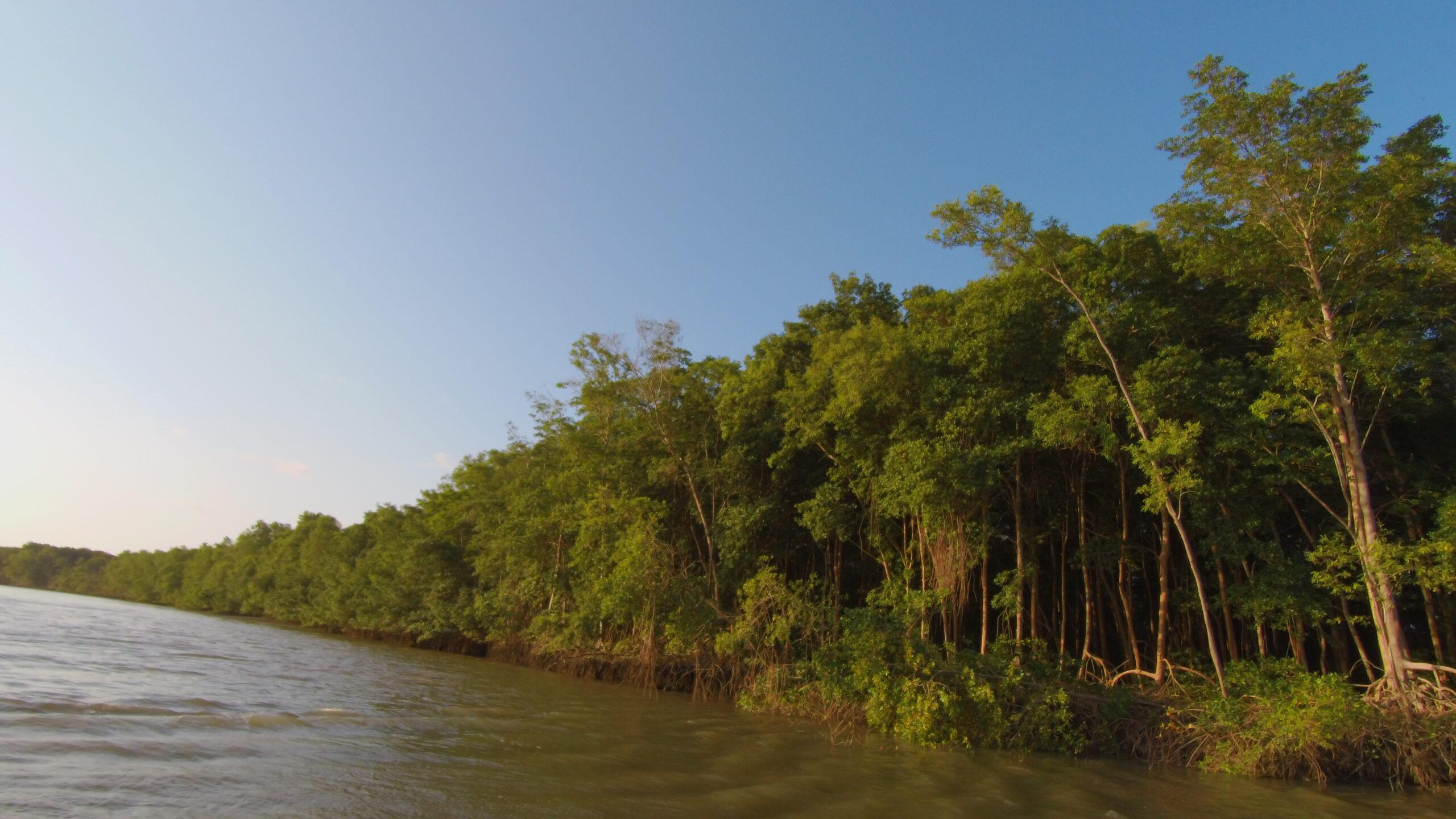 Estamos cuidando dos manguezais da Amazônia?